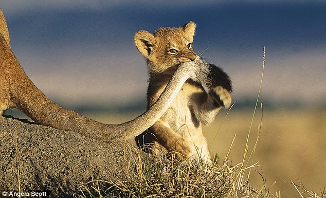 Lion cub bites tail