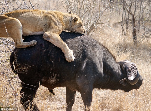 Buckin' bronco: Tehe lioness grabs onto the water buffalo as the attack begins