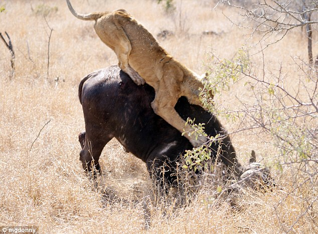 The bufalo desperately tries to shake the lioness loose, but the claws are out and dinner is served
