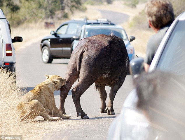 Peckish for a calf: The buffalo has his leg pulled by the lioness as traffic comes to a stop