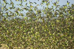 Flock of budgerigars in far-western Queensland, Australia