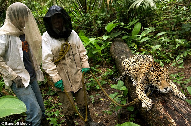 Time for a walk: British volunteer Caroline Almond and Pedro, a Chilean veterinarian, with Katie the jaguar at the Ambue Ari Reserve in Bolivia