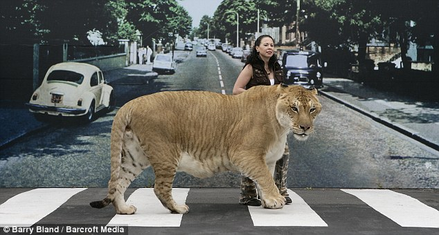 Hercules the Liger walks along the infamous Abbey Road set