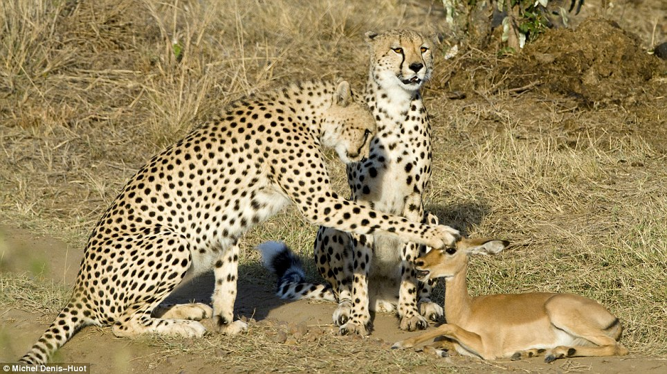 No claws for alarm: Astonishingly, these cheetahs, whose instinct  is to hunt for food, decide to play with this baby impala