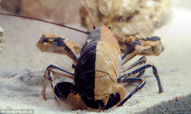 Shell shocked: Marine experts believe the lobster is about five or six years old