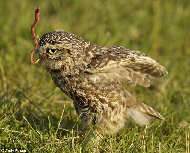 Pop! The 7inch owl finally manages to pull the earthworm out of the field after struggling with it for several minutes