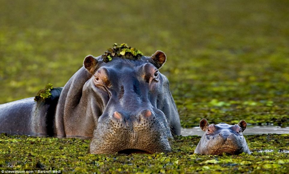 We ARE smiling! A mother and baby hippo in the Okavango Delta, Botswana, captured on film by Steve Bloom