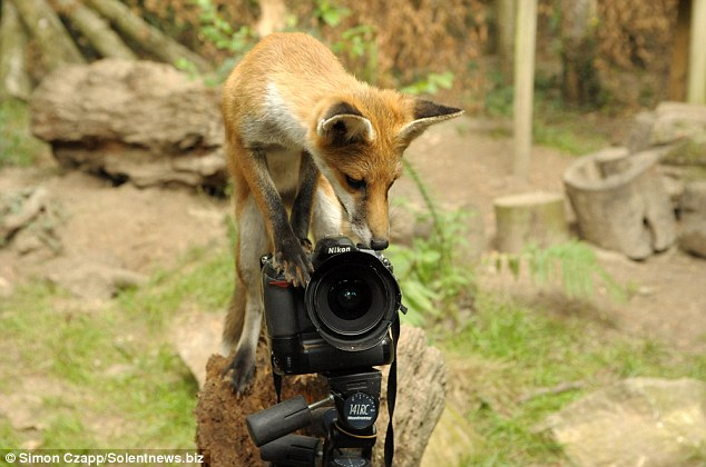Make it snappy: The inquisitive cub managed to outfox the  professional photographer and captured images of him taking her picture