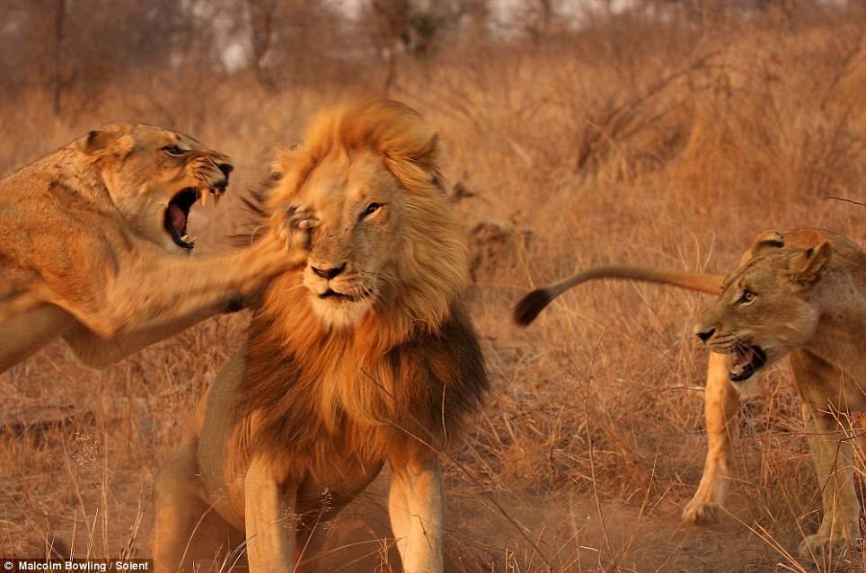 It's one in the eye for the Lion King: One of the angry lionesses  claws wildly at the male's face