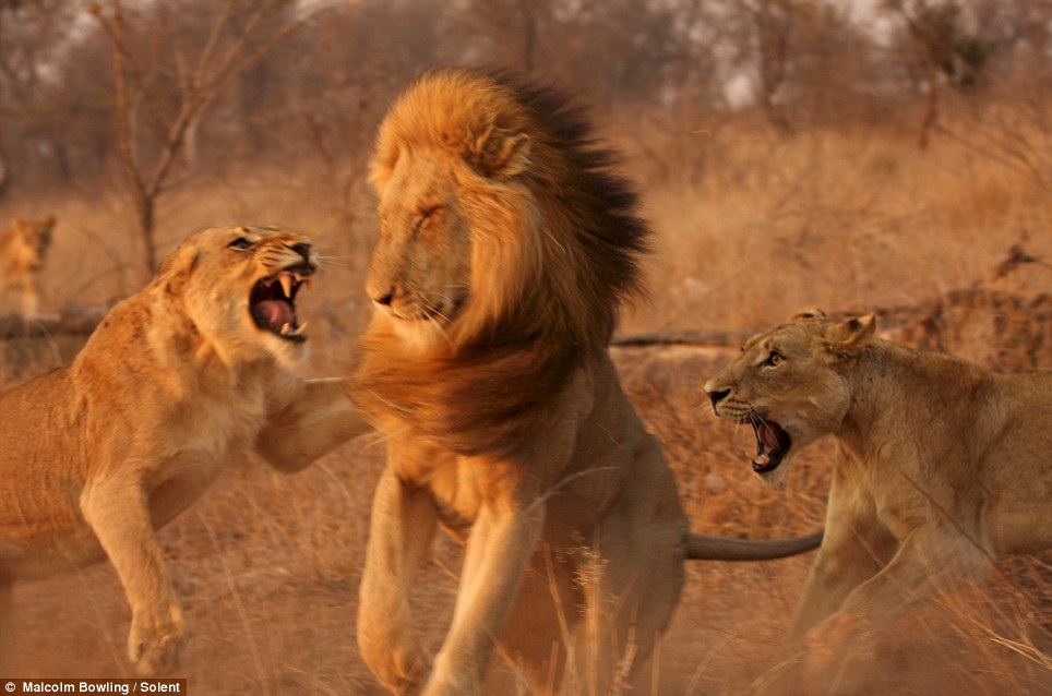Back off: The two lionesses pounce on the visibly shocked lion