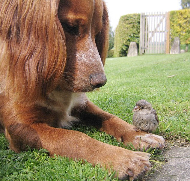 Bird in paw: Flint the Cocker Spaniel befriended the orphaned sparrow, Chicky, and didn't gobble him up