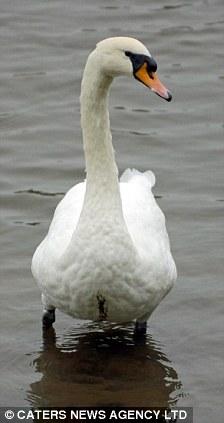Hannibal the killer swan