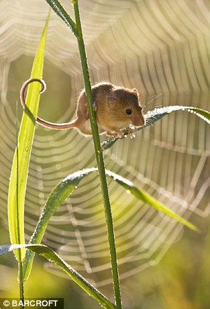 A cobweb creates a stunning backdrop as a mouse perches on canary grass