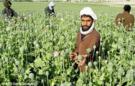 High: while disease cut the amount of opium produced in Afghanistan by almost half this year compared to last, there was no fall in the number of poppy fields under cultivation and farmers earned far more for their crops