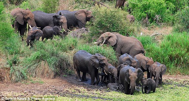 Cooling off: There was no sign of the impending danger as the herd of elephants met at a watering hole to have a drink