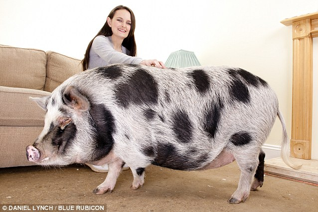 Do Pigs How Grown Get When Big Micro Fully