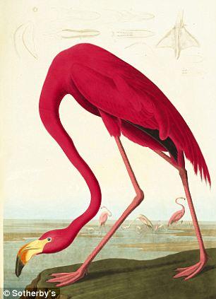 Phoenicopterus ruber, the Greater Flamingo