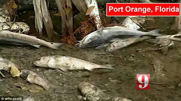 Riddle: This is not the first time fish have washed up in Florida. Last month thousands were found dead on the shores of Spruce Creek