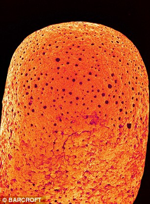 A coloured scanning electron micrograph (SEM) of the tip of an unburnt match