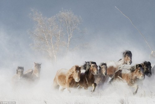 Wild horses in Outer Mongolia