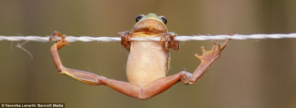 A Ribbiting Performance From The High Wire Frog