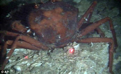 Deep impact: A December 1, 2010 slide from the University of Georgia shows a dead crab with oil residue on the still-damaged sea floor about 10 miles north of the BP rig in the Gulf of Mexico