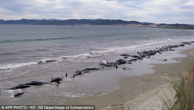 Grisly: 107 pilot whales were found stranded on a remote beach in Cavalier Creek on Stewart Island, off the southern tip of New Zealand's South Island