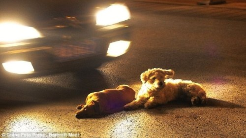 Doggone: The faithful dog lies by his dead friend, who has been knocked over on the busy Chinese road