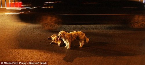 Guarding: As the cars speed by, the dog stands over his hit friend