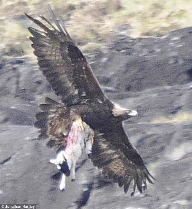 golden eagle clutches lamb
