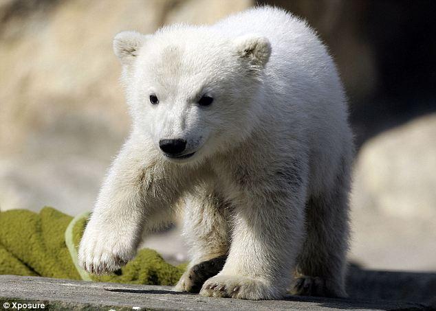 knut the bear is dead