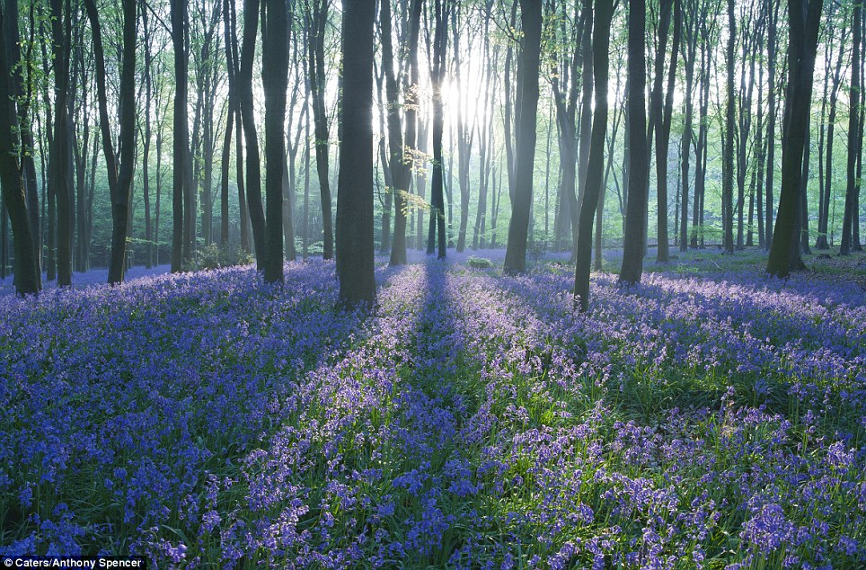 The true beauty of British springtime Thousands of bluebells flower early deep in the woods  Daily Mail Online