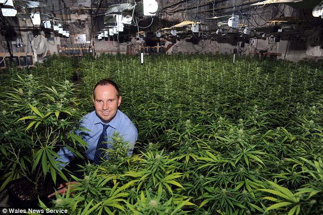 An officer from South Wales Police poses with the £300,000 cannabis haul. As police stood guard at the front of the cannabis factory, thieves broke in through the back and stole some of the drugs