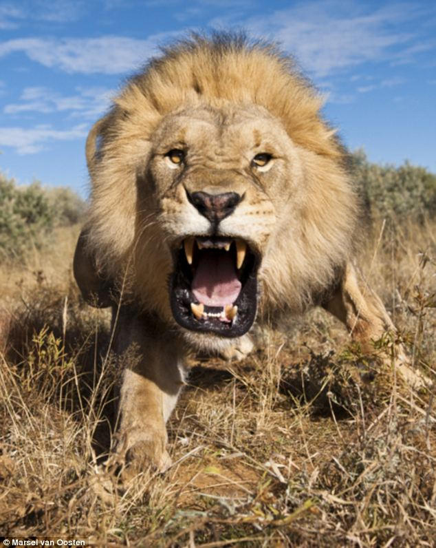 angry lion takes pride