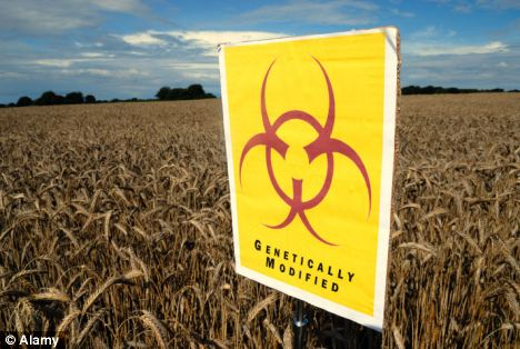 Biohazard: Millions of acres in North and South America are planted with GM corn containing the toxins, which is fed in vast quantities to farm livestock worldwide