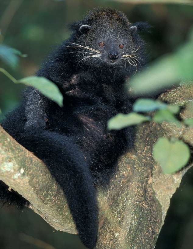 Cute: The bearcat, also known as a binturong, is a shy, nocturnal mammal inhabiting the forests of Asia (File photo)
