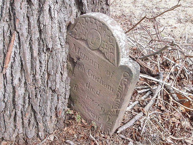 Gravely hungry: This 18th century headstone has become part of the trunk of this ravenous tree