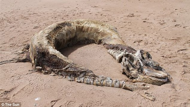 What is it? Experts believe the carcass could have been a killer whale or a pilot whale