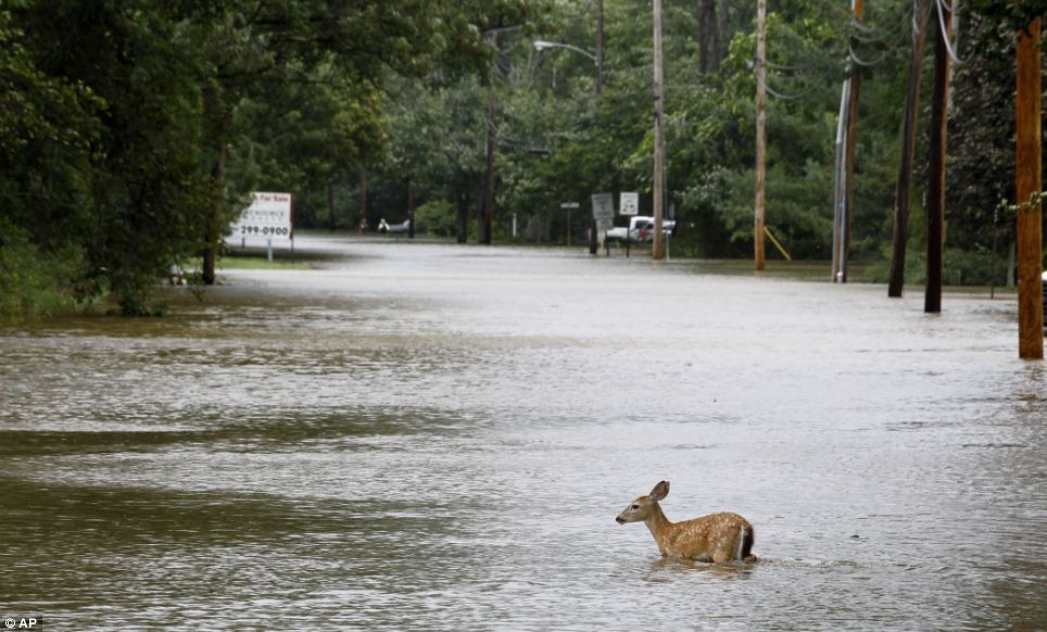 Water levels: A deer is seen in floodwaters in the aftermath of Hurricane Irene in Lincoln Park, New Jersey. Rivers and creeks surged toward potentially record levels late on Sunday as Irene charged to the north and left behind a mess