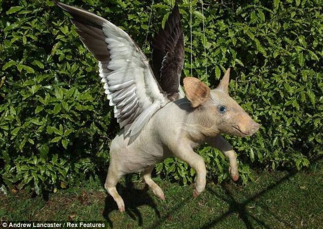 Pigs really can fly: The sty's no longer the limit for this porker, thanks to a pair of bird wings