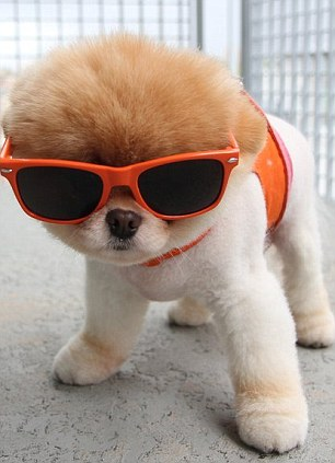 Canine cutie: Boo enjoys being photographed in a variety of different outfits