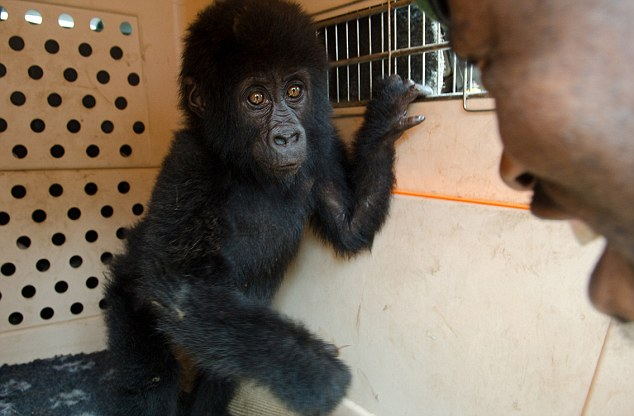 Saved: The one-and-a-half-year-old baby mountain gorilla is one of only 790 in the world
