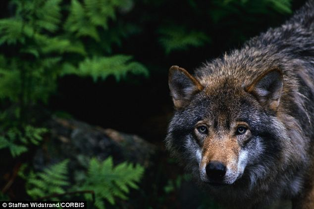 Biodiversity: A European grey wolf stalks the forest of Transylvania. The area is also home to brown bears, lynx, and 13,000 other species