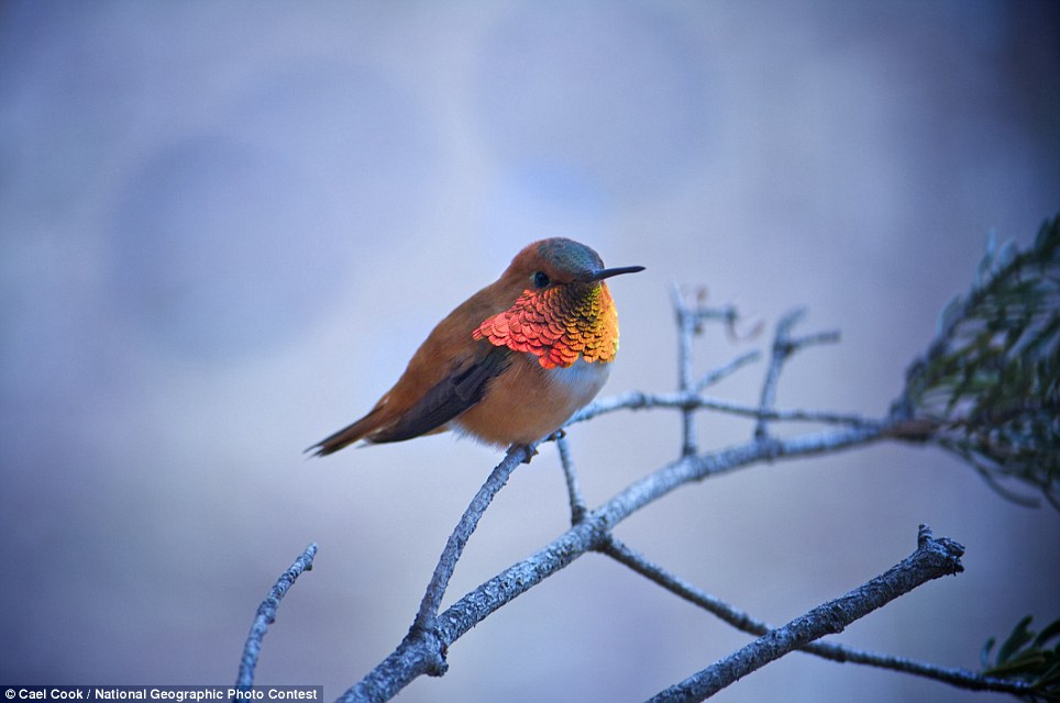 RufousCael CookRufous humming bird takes a much need break on a pine tree, boasting his beautifully bright chest.