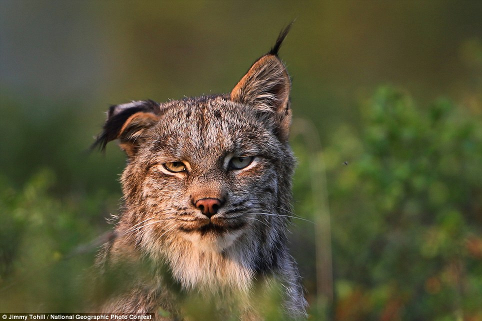 lynx (Lynx canadensis) flinches its ear at bothersome gnats in the late evening summer sun in Alaska