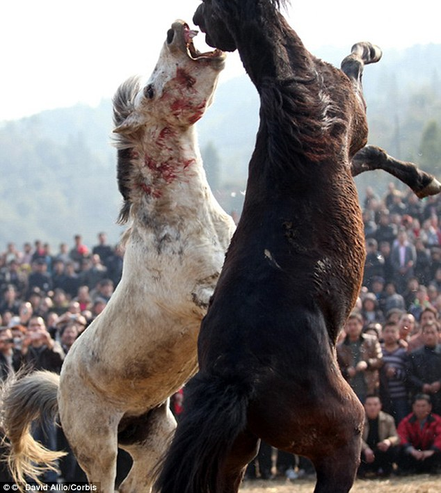 Bloody battle: These two horses were primed for their fight by an in season mare being paraded infront of them for days, driving them wild with lust