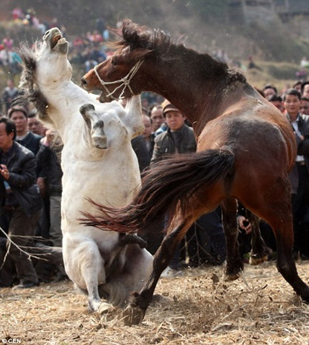 Barbaric: These two horses fight to the death as thousands watch in southern China
