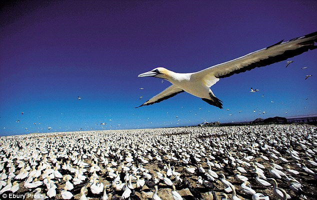 Cape gannets at Algoa Bay, South Africa