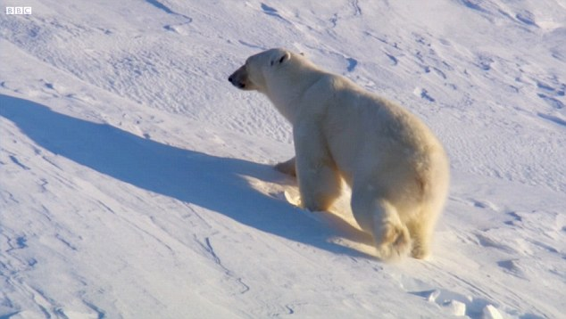 Mixed: The scene was mixed with real footage of polar bears in the wild, which may have misled viewers