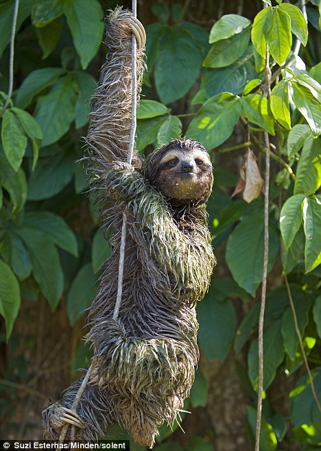 Female sloth hitches ride to animal sanctuary in Costa